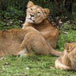 lions zoo lunaret