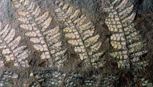 Forêt fossile Champclauson - fougère